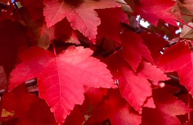 650 Maple leaves in NF ©